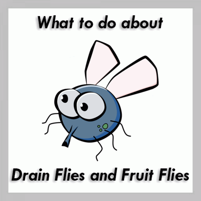 what to do about fruit flies and drain flies